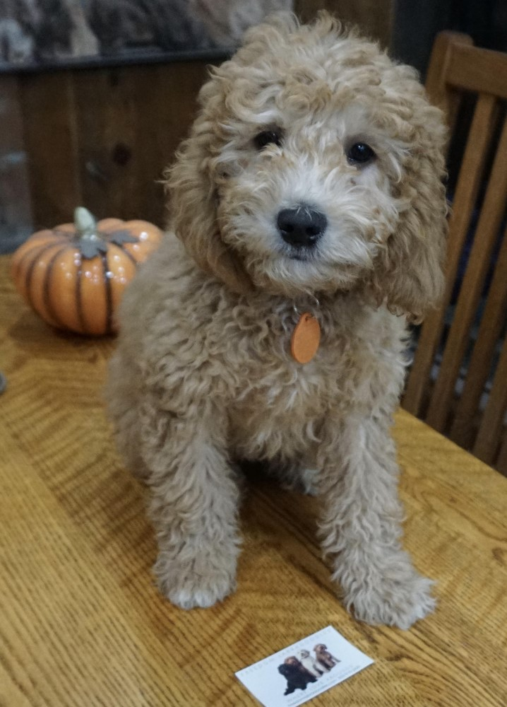 Riley Freedom Labradoodles stud for sale or trade