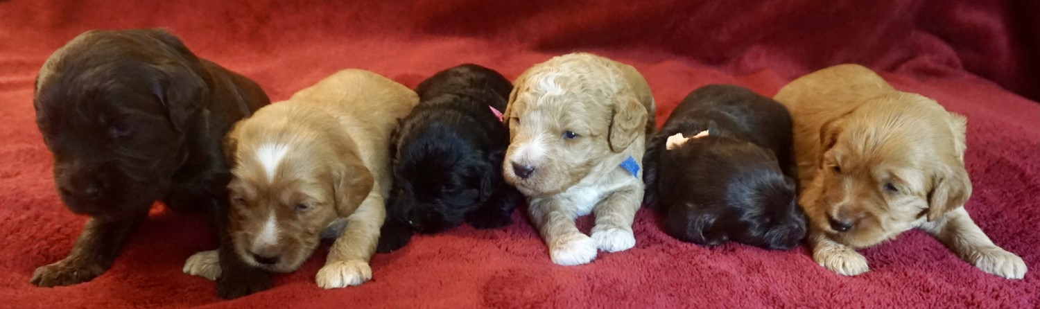 daisys litter of medium sized labradoodle puppies